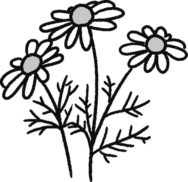 カミツレの花のイラスト