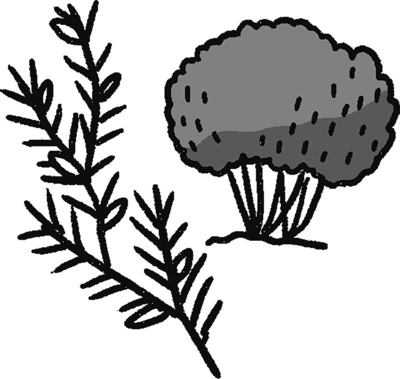 ルイボスの木と葉のイラスト