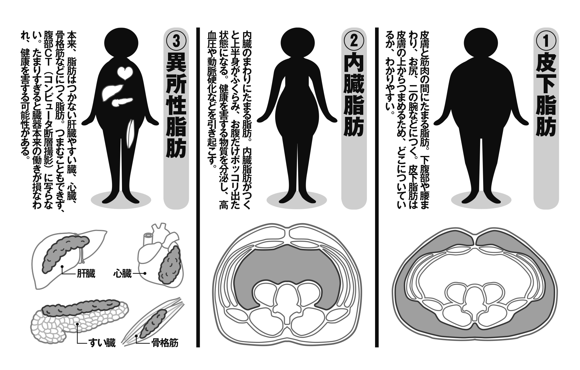 人間の体にある3種類の脂肪を図解