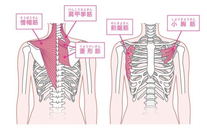 肩甲骨まわりの筋肉の解説