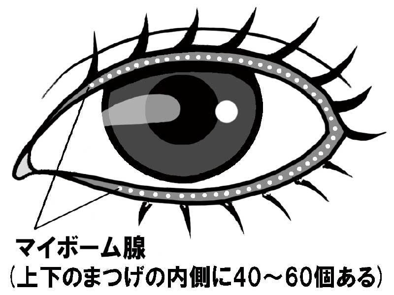 マイボーム腺を記した目のイラスト