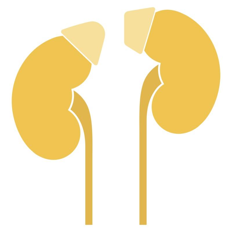 副腎のイラスト