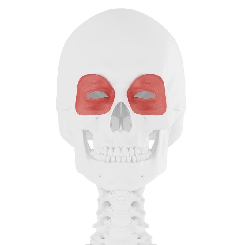 眼輪筋を示した骸骨のイラスト