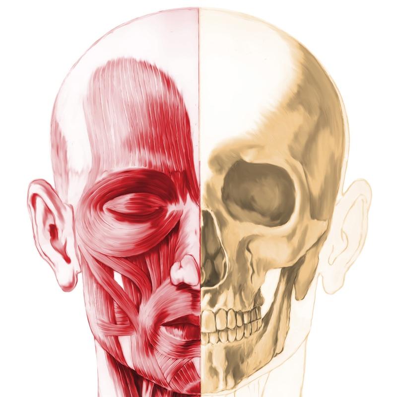 顔の筋肉と骨を描いたイラスト