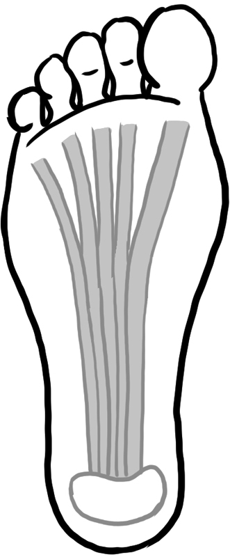 足底筋膜と踵骨のイラスト