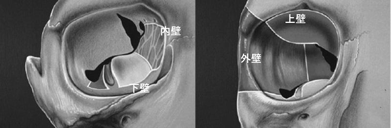 正面から見た右目の図。鼻の方に内壁が、耳の方に外壁がある