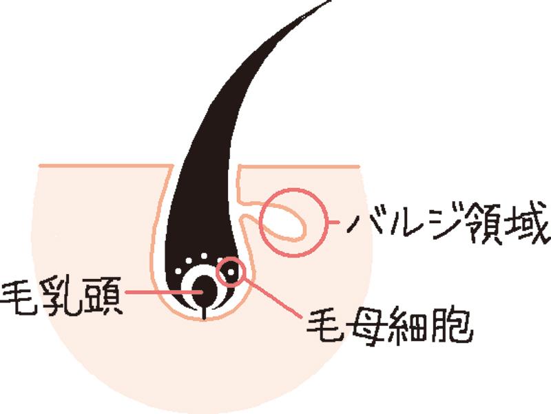 毛の生えるしくみを図解したイラスト