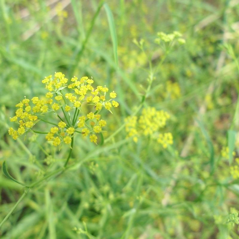 柴胡の黄色い花