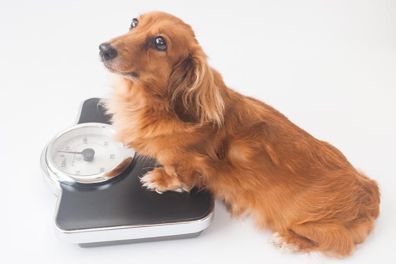 犬が体重計に乗っている