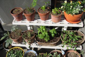 家庭菜園や再生野菜で食費を浮かせる!ミント、トマト、万能ねぎ、青梗菜も