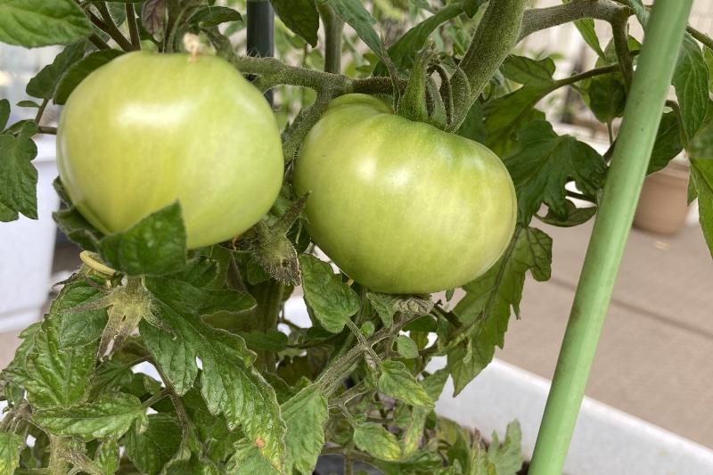 家庭菜園で育てたトマト
