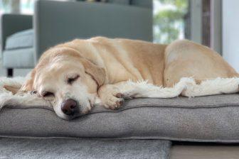 愛犬が認知症になったら…7歳過ぎたペットの飼い主が持つべき心構えとやるべきこと