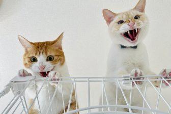 「何かとたたかう猫」が臨場感たっぷり!掃除機にむき出しの怒り示す猫ちゃんも