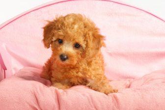 トイ・プードルやスコティッシュ・フォールドなど人気の犬種・猫種に多い病気やケガとは?